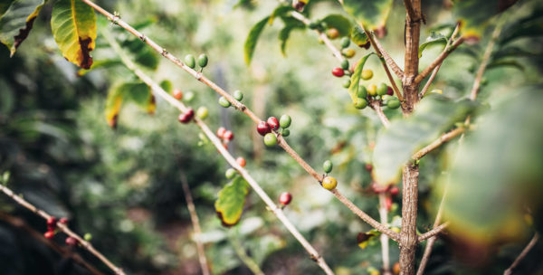 The Birth of a Coffee Industry in California